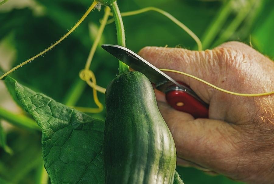 https://thepaleodiet.imgix.net/images/Cucumber.jpg?auto=compress%2Cformat&crop=focalpoint&fit=crop&fp-x=0.5&fp-y=0.5&q=95&w=900