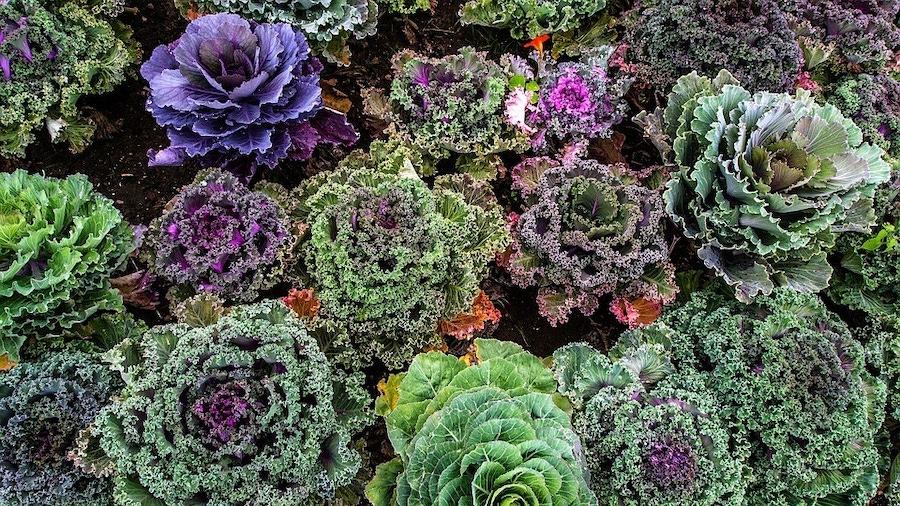 https://thepaleodiet.imgix.net/images/Kale.jpg?auto=compress%2Cformat&crop=focalpoint&fit=crop&fp-x=0.5&fp-y=0.5&q=95&w=900