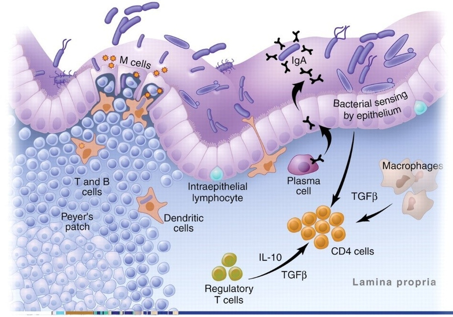 Macdonald, T.T. and G. Monteleone, Immunity, inflammation, and allergy in the gut. Science, 2005. 307(5717): p. 1920-5.