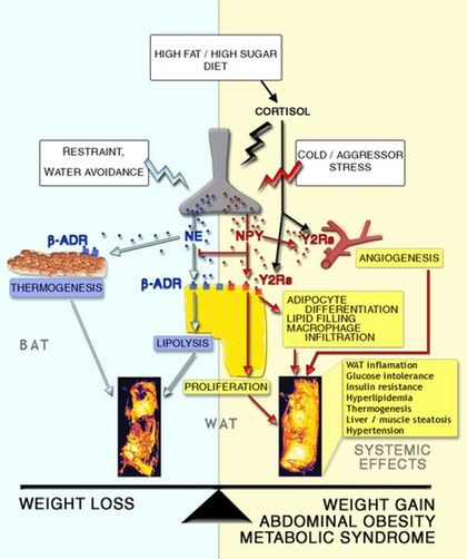 Kuo LE, Chronic stress, combined with a high-fat/high-sugar diet, shifts sympathetic signaling toward neuropeptide Y and leads to obesity and the metabolic syndrome. Ann N Y Acad Sci. 2008;1148:232-7.