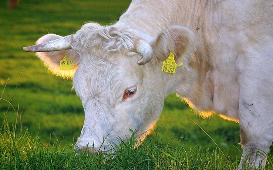 Grass-Fed vs. Grain-Fed Beef image